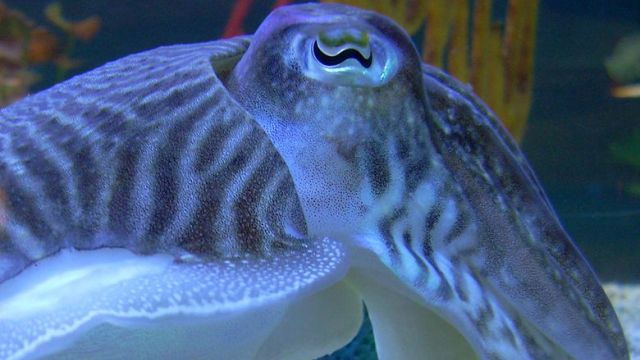 Cuttlefish have a visual superpower - they see the world in polarized light