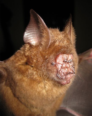 This bat has one of the craziest noses in the animal kingdom