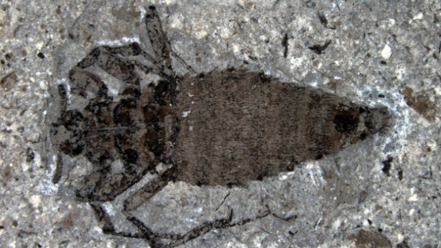This giant fossil flea once feasted on dinosaurs