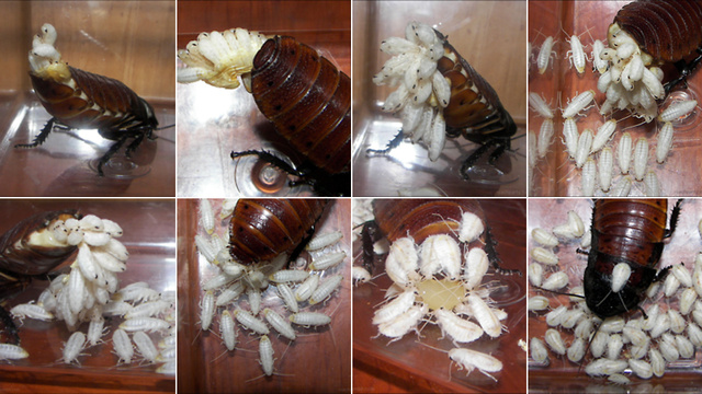 Here Are Some Gross Photos of a Cockroach Giving Birth