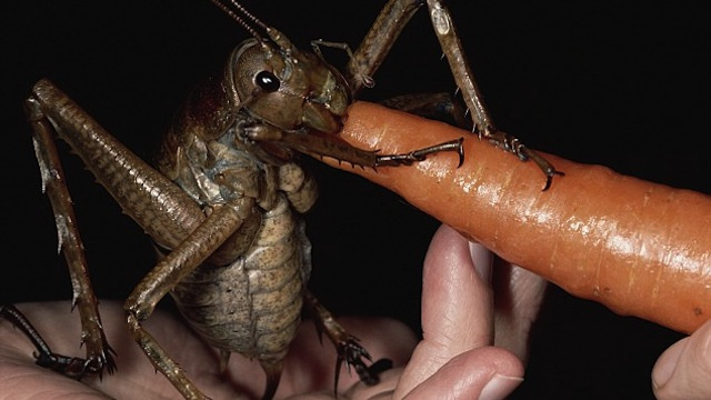 The World's Biggest Insect Is So Freaking Huge It Can Eat a Carrot