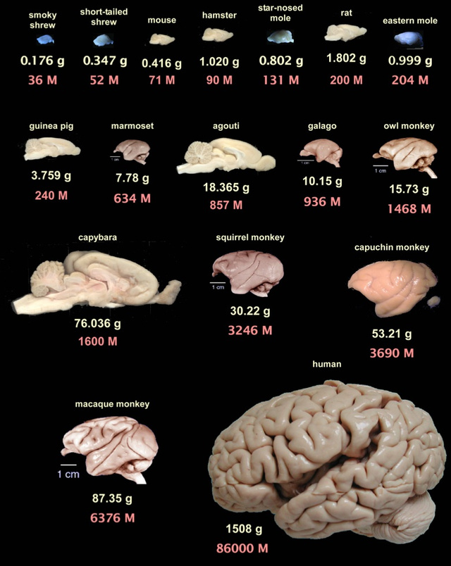 The 4 Biggest Myths About the Human Brain