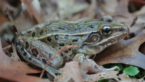 Newly discovered species of frog has been hiding in NYC for years