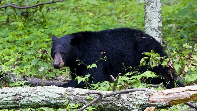 Bears use hibernation to regenerate their wounds without a hint of scarring