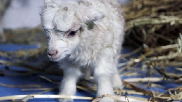 The best cashmere comes from adorable clones of Himalayan goats