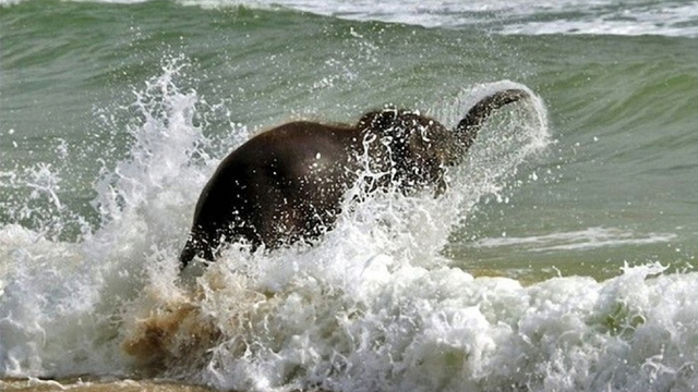 And now, a baby elephant gallivanting around at the beach