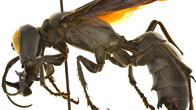 King of wasps,Horror Wasp,Largest wasp,amazing animals of world,amazing animal fact