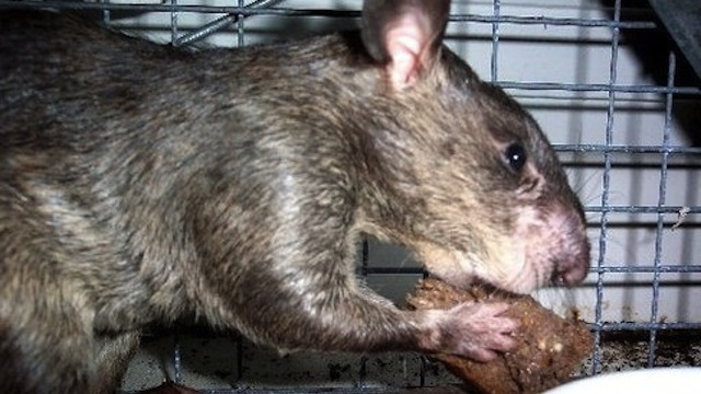 The Giant Nine-Pound Rats Are Coming [Wtf]