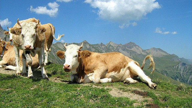 DNA reveals that cows were almost impossible to domesticate