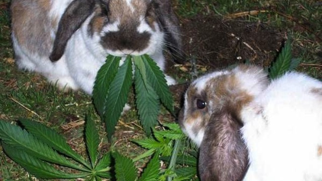 Update: Alleged Weed-Eating Rabbits Were Not Actually Eating Weed