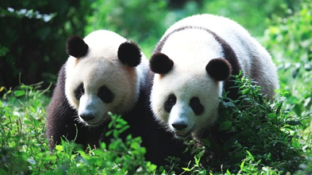 Once again, pandas prove they have the world's most byzantine mating habits
