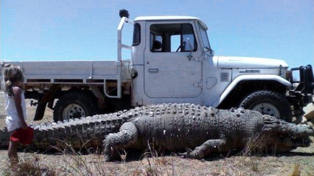Crikey! Killer Croc Dragged From Swamp With Two Land Cruisers