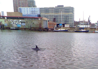 There Was a Dolphin In Newtown Creek Today