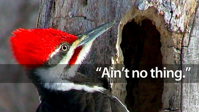 why woodpeckers dont get brain damage from pecking all day