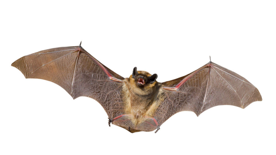 Click here to read Holy Memorandum! The Secret to Bats' Super-Efficient Flight Could Help Make Better Military Drones
