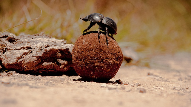 What is a dung beetle's favorite kind of manure?