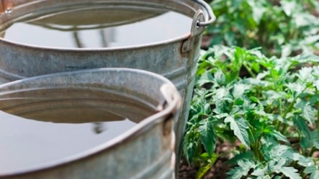 Click here to read Keep Your Plants Warm Over a Chilly Night with a Bucket of Water