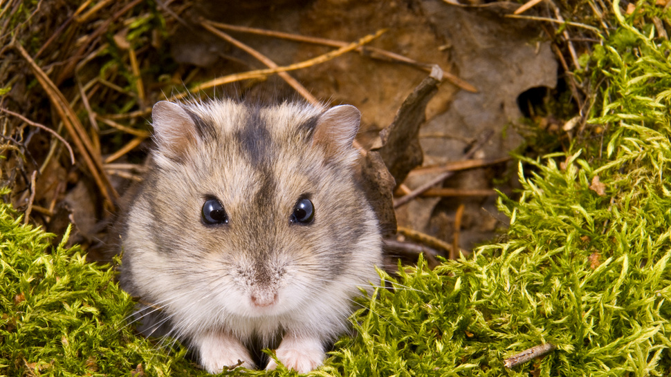 Dead And Buried Hamster Emerges From Grave Alive And Well And Hungry For Brains