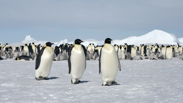 Scientists Use Satellites, Poop to Count Emperor Penguins