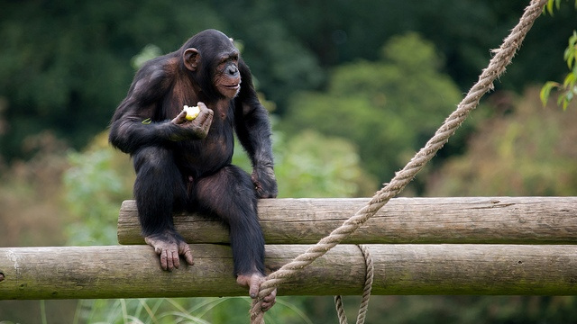 Chimps make noises to stop the spread of ignorance