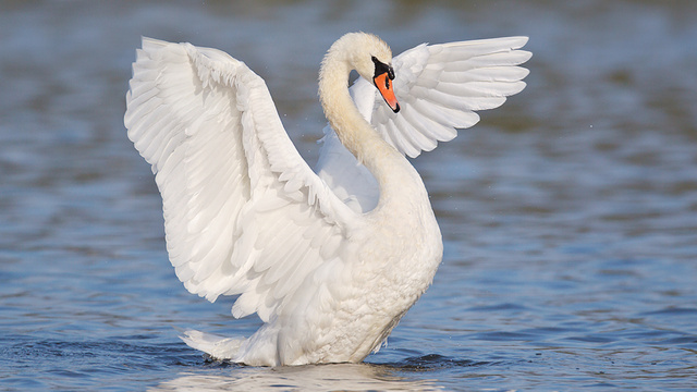 Mute Swan Attack