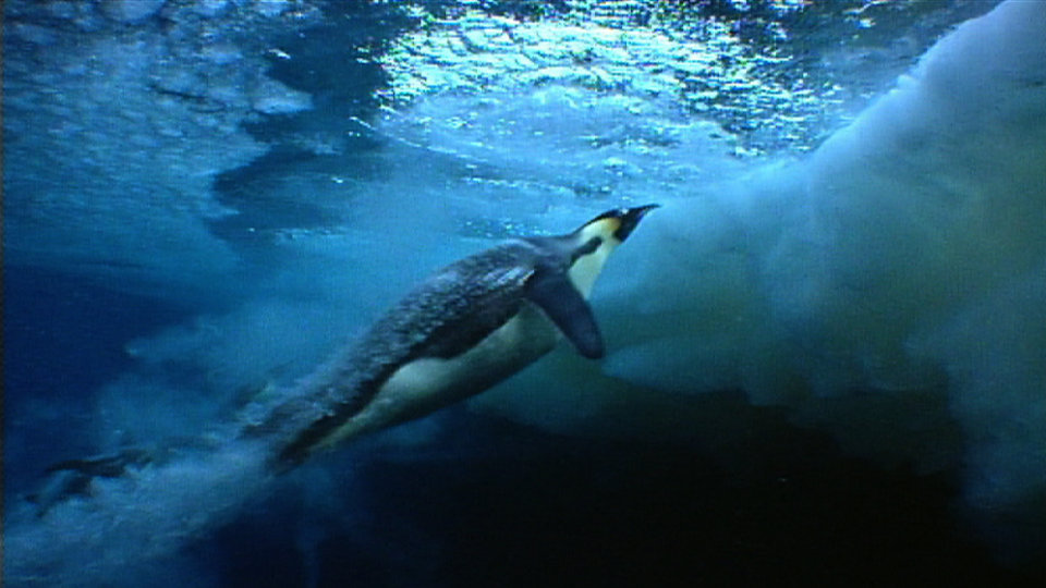 Click here to read Penguins Rocket Away from Danger Aboard Supercavitating Bubble Jets