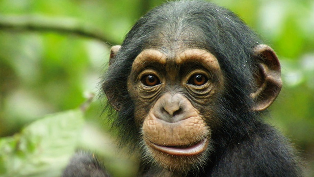 Aw, We Think He's Human: Disneynature's Chimpanzee