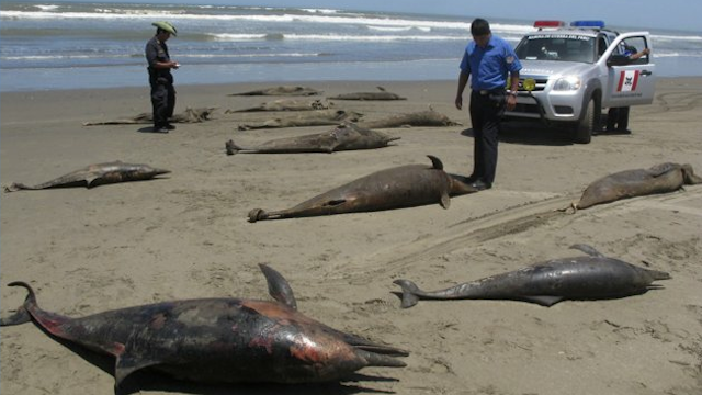 Click here to read Officials Don't Know Why 877 Dead Dolphins Have Been Found on Beaches in Peru