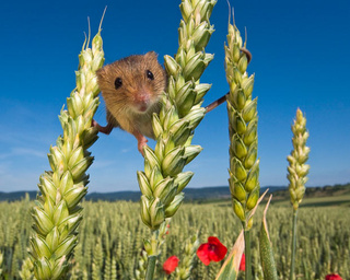 The harvest mouse is nature's most adorable acrobat