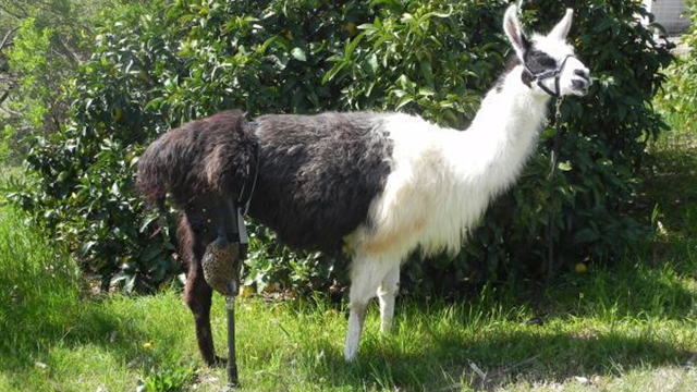 World's First Bionic Llama Saved from Death by Prosthetic Leg
