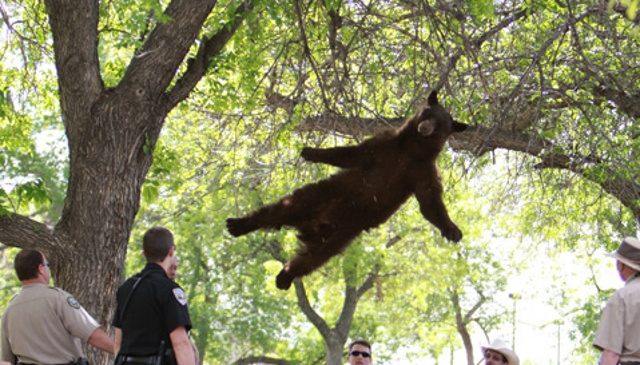Well This Is Depressing: CU Boulder's 'Falling Bear' Struck And Killed by Cars on Highway
