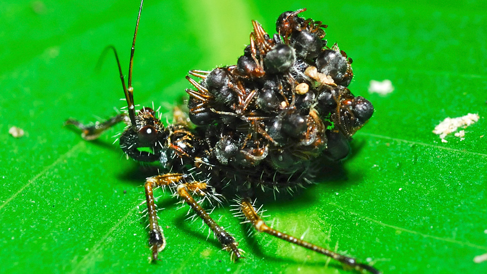 Click here to read Unbelievable Assassin Bug Wears Its Victims' Corpses as Armor