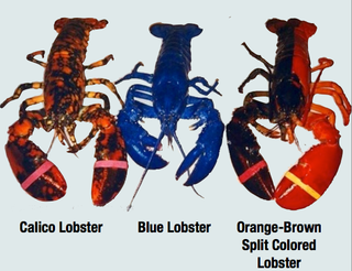 "Meet Calvin the calico lobster, a ""1-in-30-million specimen"""