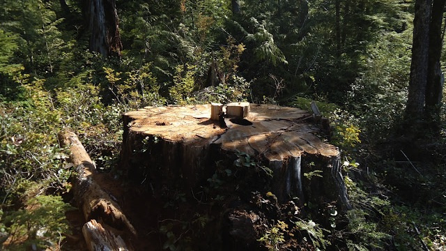 How Does an 800-Year-Old Giant Tree Go Missing?
