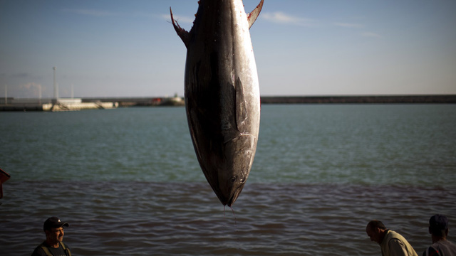 Uh Oh: Radioactive Bluefin Tuna Appear on the Coast of California