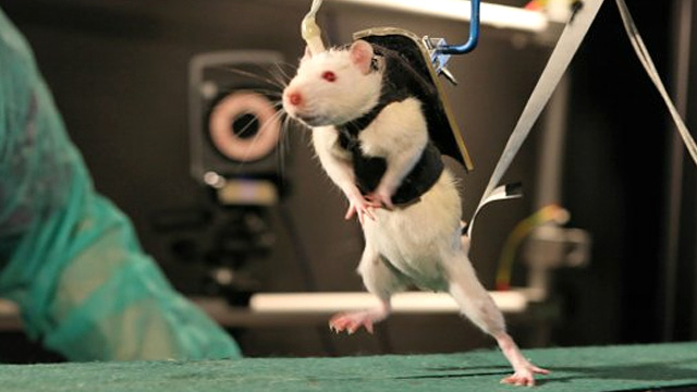 This Adorable Rat On A Treadmill Used To Be Paralysed