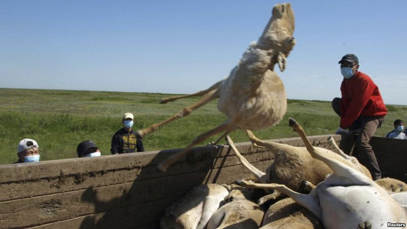 Are Spacecraft Killing Thousands Of Antelopes In Kazakhstan?