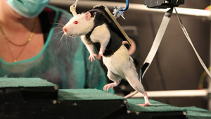 Groundbreaking rat experiment offers new hope for paralyzed humans