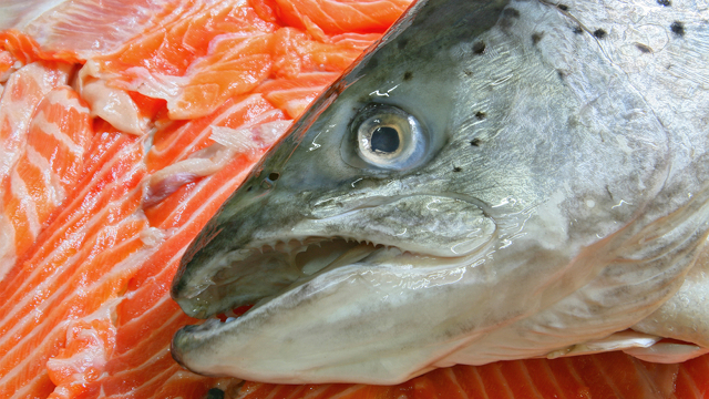 Click here to read You Could Be Eating Genetically Engineered Frankenfish Without Even Knowing It