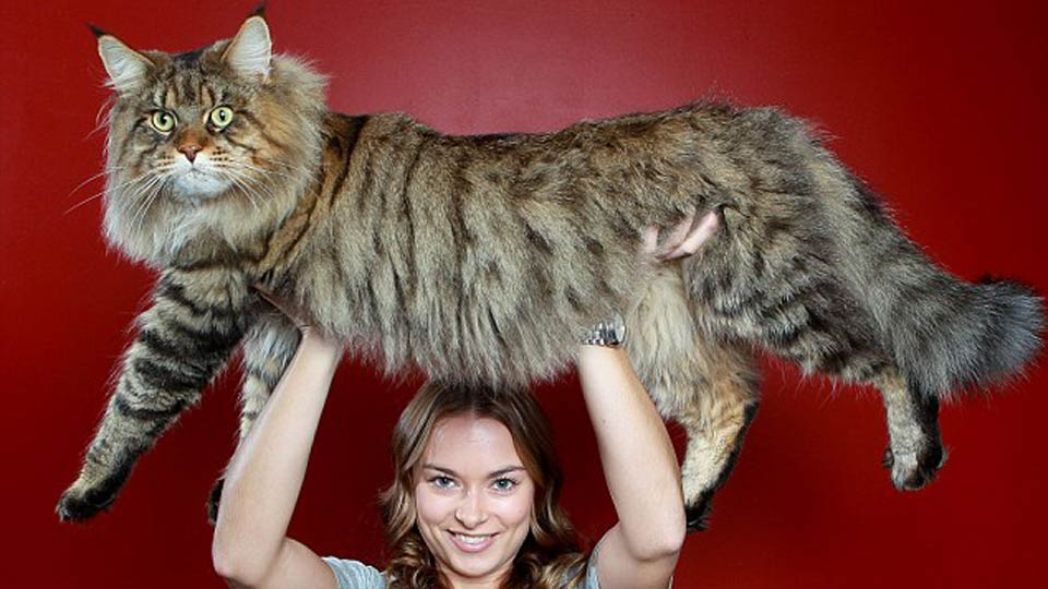 Click here to read This Mega Monster Cat May Become the Biggest Cat In the World