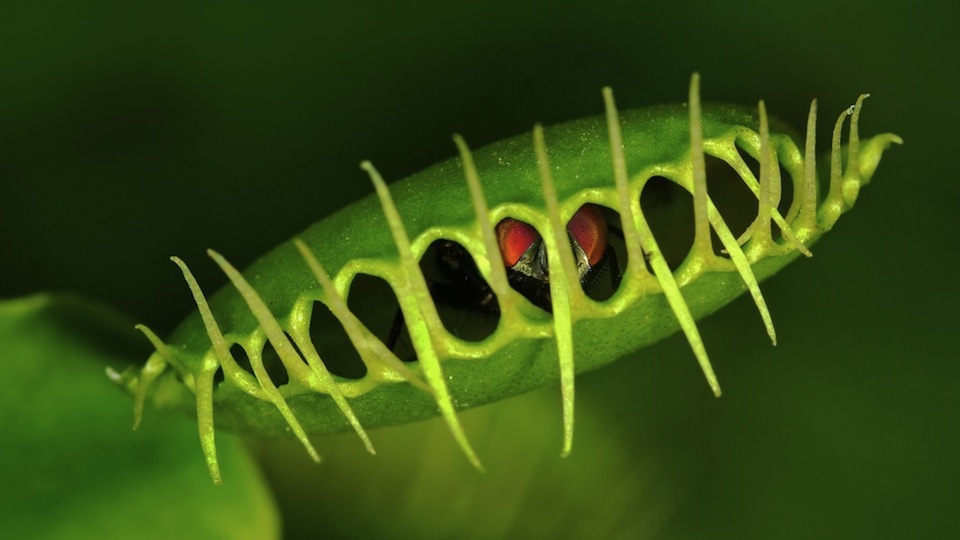 Carnivorous plants are becoming vegetarian because of pollution