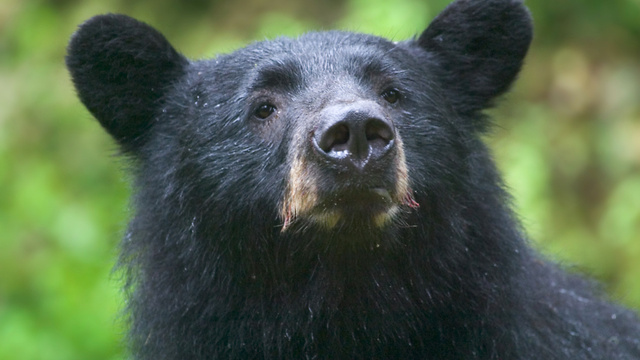 "Study proves bears can ""count"" as well as primates"