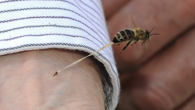 This is what a honeybee looks like as it loses its stinger