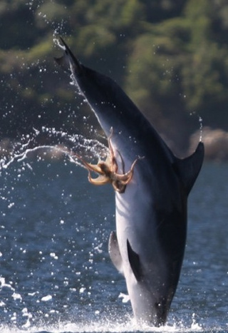 And now, a dolphin with an octopus stuck to its naughty bits