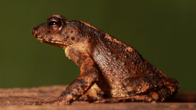 Reports of the Kandyan dwarf toad's death have been greatly exaggerated