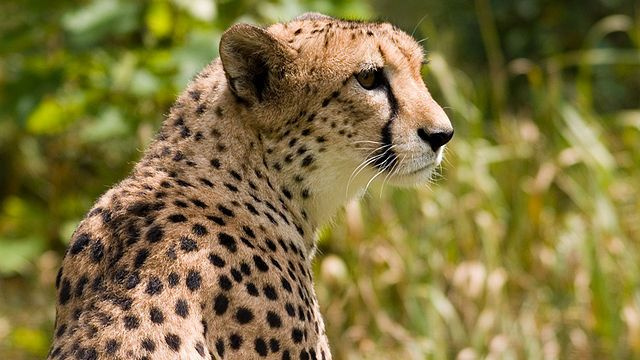 The Failed Experiment That Shows Why Cheetahs are Twice as Fast as Greyhounds