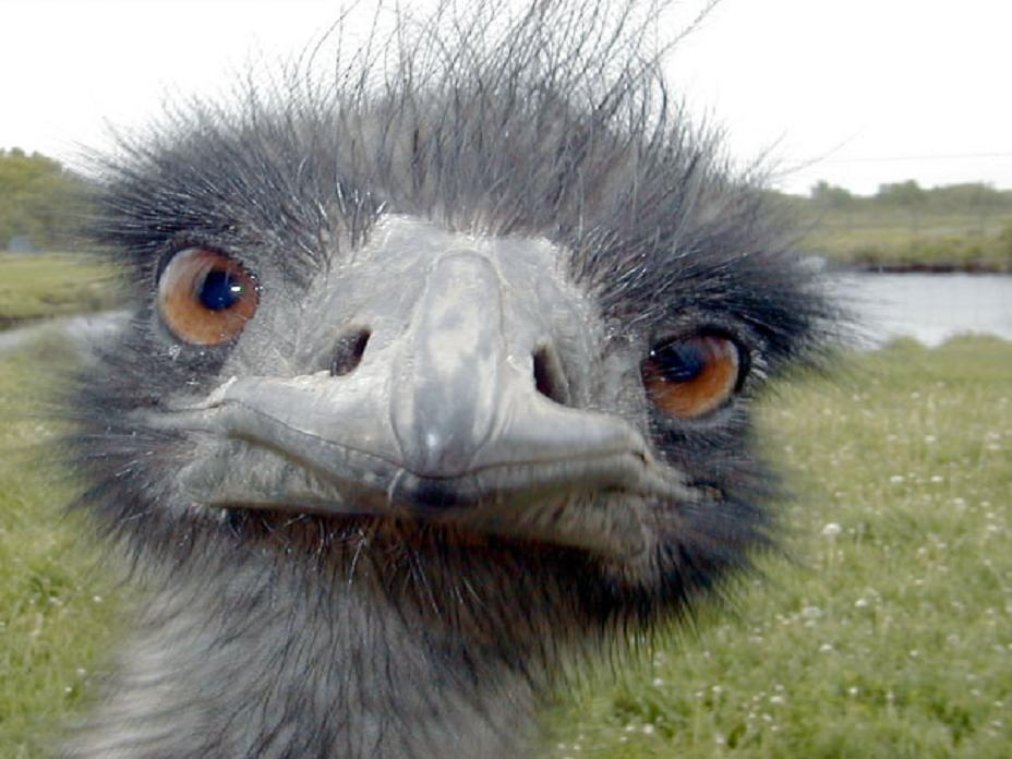 Image result for emu