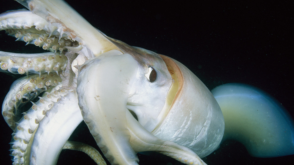 How Exactly Could a Squid 'Inseminate' Your Mouth?