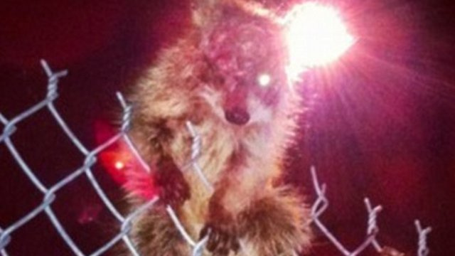 Terrifying One-Eyed Raccoon Claws Its Way Into Our Hearts
