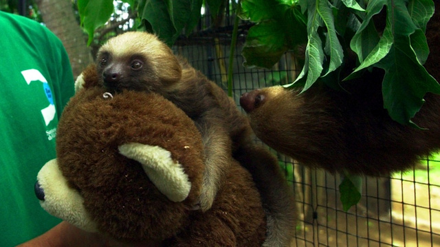 Baby Sloth Refuses to Eat without a Suitable Cuddle Buddy